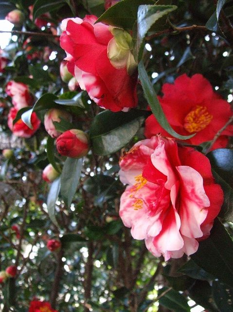 ばあちゃんの挿し木「椿」