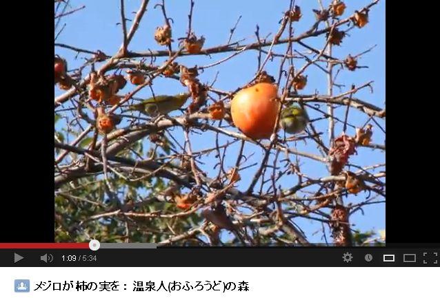 メジロが柿の実を:温泉人(おふろうど)の森