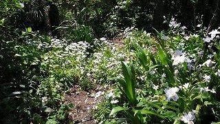 白く輝くシャガ・ハナニラ:温泉人(おふろうど)の森
