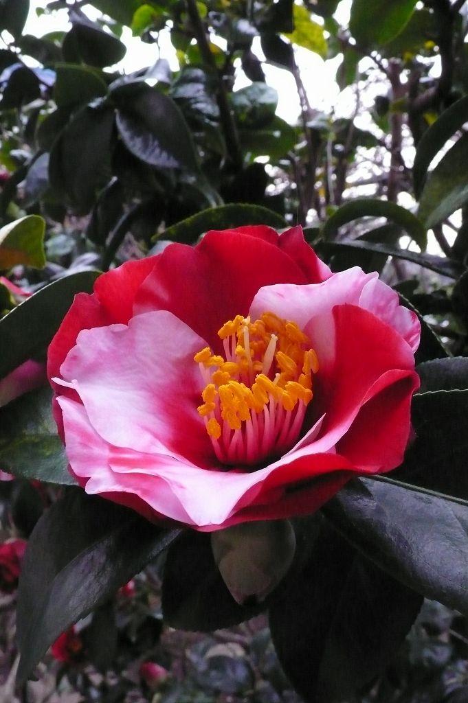 ばあちゃんの椿、開花