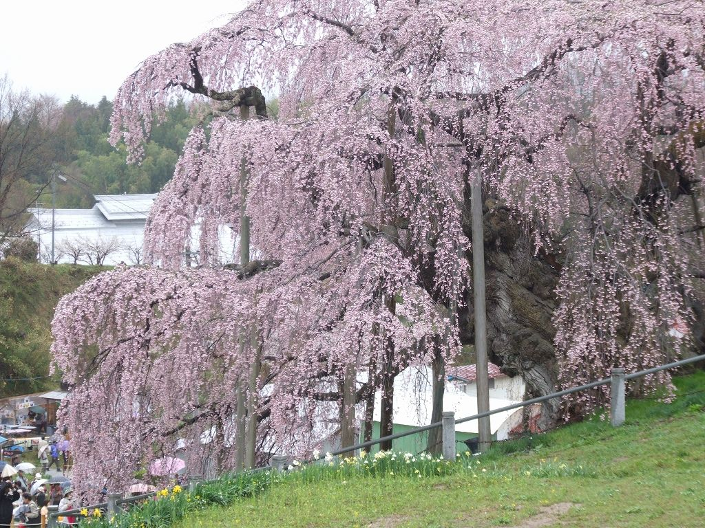 三春の滝桜(福島県三春町)