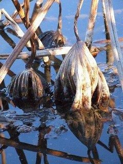 自然の在り様:枯蓮の水へ戻り、新しく再生へ(難波田城公園)