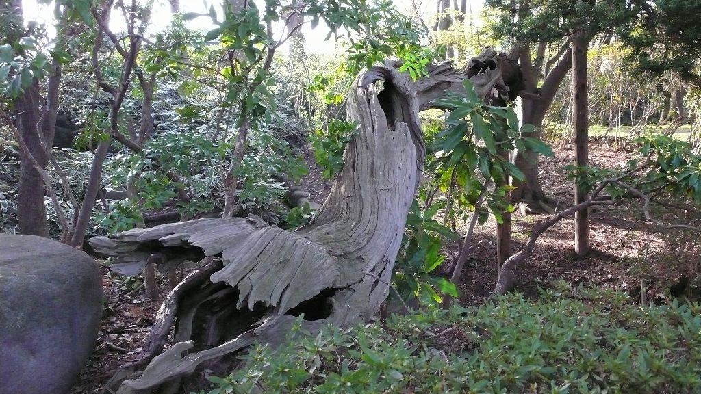 もみじ公園のカヤの樹(山形市)