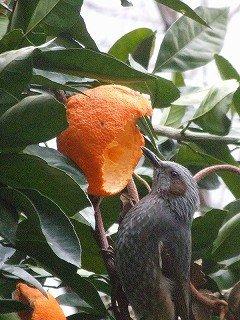 ミカンと鳥 :温泉人(おふろうど)の森にて