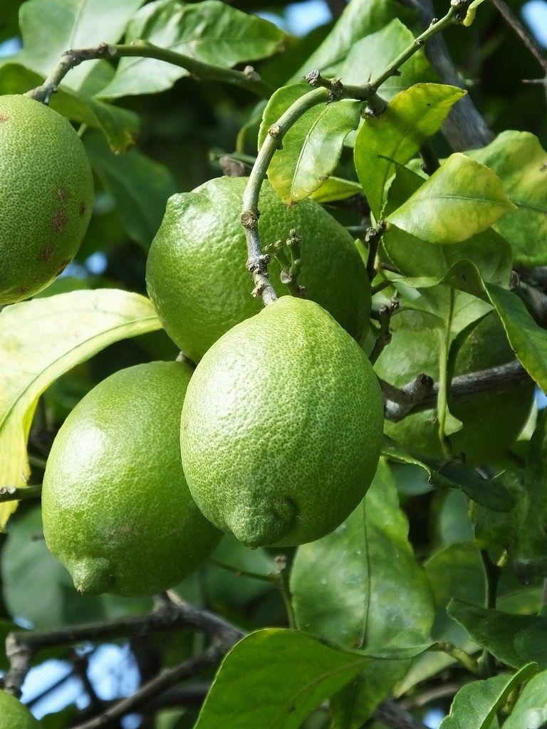 レモンの樹�