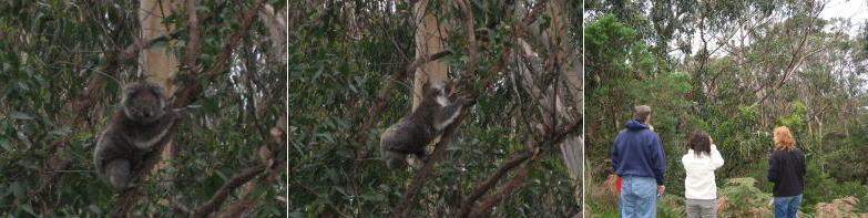 Koala21