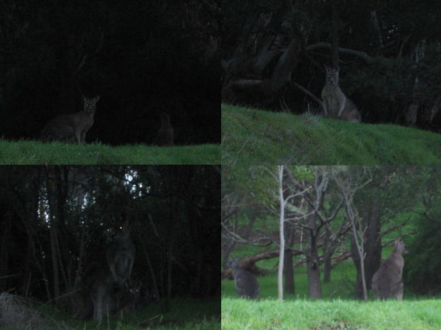 Kangaroo31