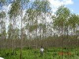 王子製紙 植林地