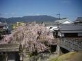 町並み伝承館の枝垂桜1
