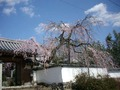 観音寺の枝垂桜2