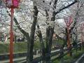 高田川の桜2