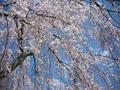 町並み伝承館の枝垂桜2