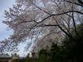 御廟の桜2