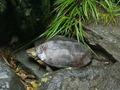 ボス亀の産卵1