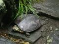 ボス亀の産卵2