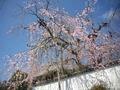 観音寺の枝垂桜1