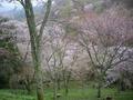 吉野の桜2