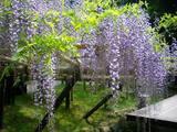 春日大社神苑の藤1