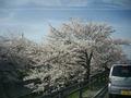 高田川の桜1