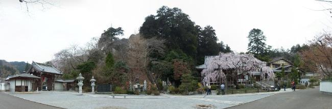 桜パノラマ1