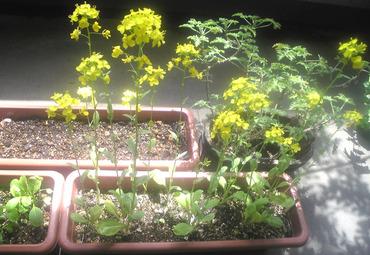 小松菜の花2014
