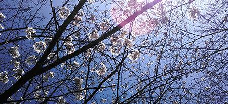 咲き始めの桜w