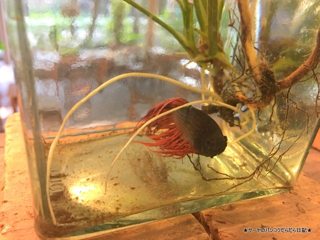 バンコク 肺 Siamese Fighting Fish Gallery (5)