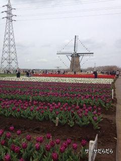 20120415 tulip 2