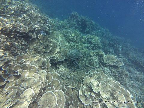 パラオ シュノーケリング サンゴ礁