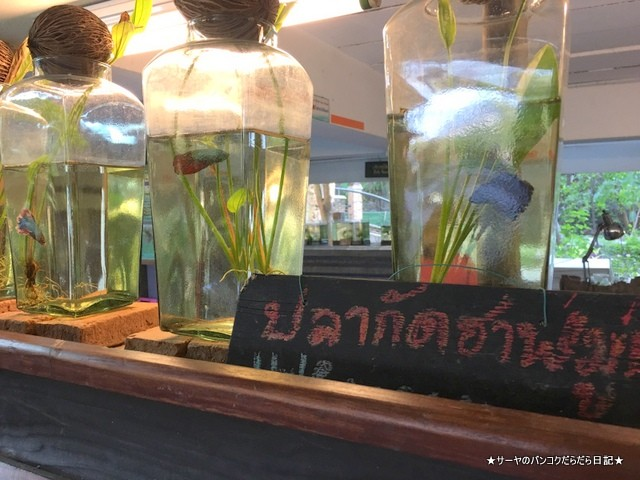 バンコク 肺 Siamese Fighting Fish Gallery (4)