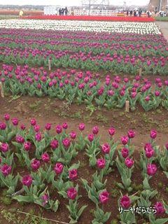 20120415 tulip 4