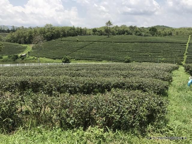 Choui Fong Tea Plantation 茶畑 チェンライ (1)