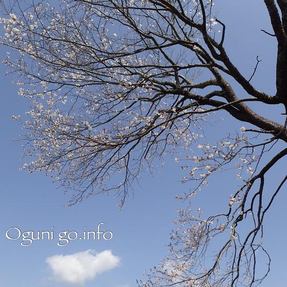2018年4月3日 前原の一本桜枝ぶり