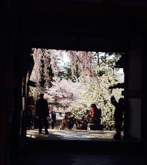 奈良の春告げ桜