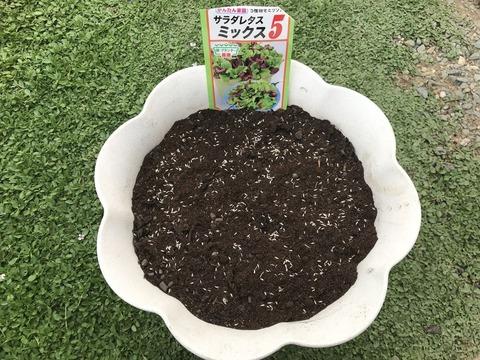 サラダレタスミックス播種1
