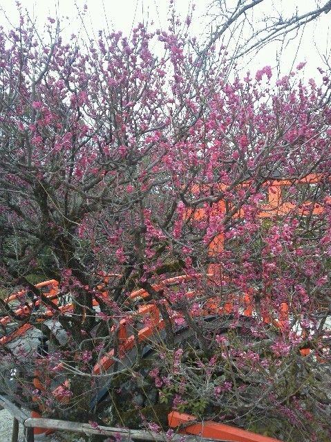 梅がもっと咲いた