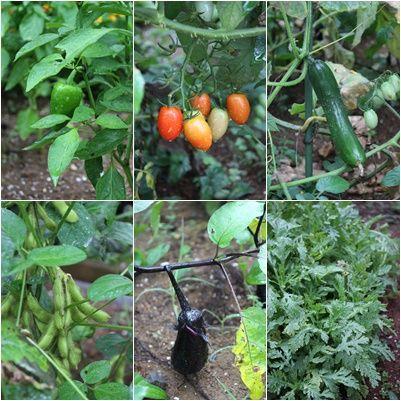 夏野菜」畑