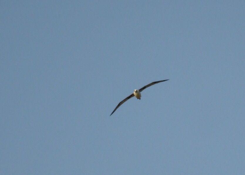 アホウドリの画像 p1_35