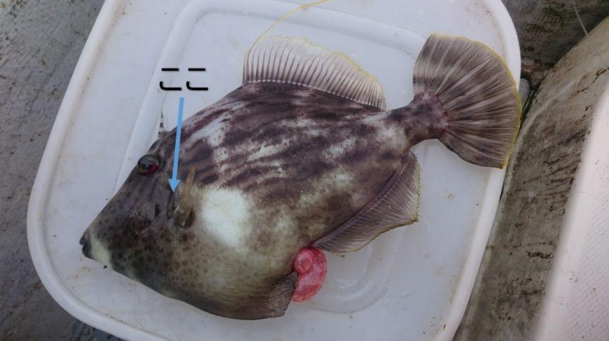 締め 方 ヒラメ 魚のシメ方・活締めと神経抜き