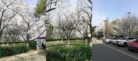 武漢大学のさくら