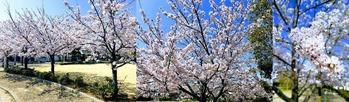 煉瓦館の桜
