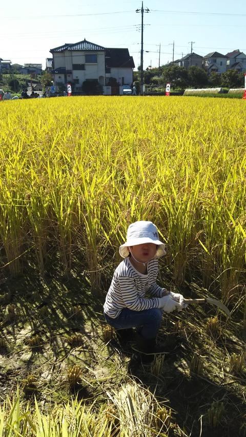 稲刈り03