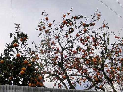 CIMG11柿