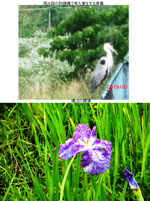 87477f25a5 本ブログは月水金に更新されます。コメントはryuuzaki_i@yahoo.co.jp へ)  (写真:梅雨の長雨の合間に青鷺が当地で一休みしていました。拡大は図のクリックで)