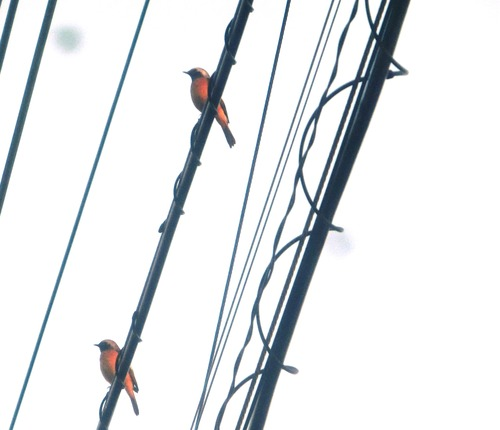 小鳥8611