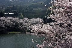 屋代湖の桜
