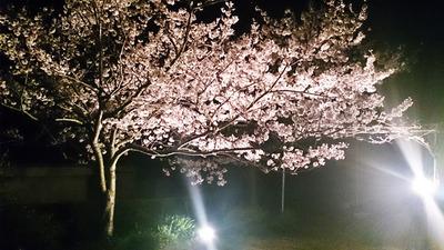 クレスト・オブ・ザ・ウェイブ立岩の夜桜