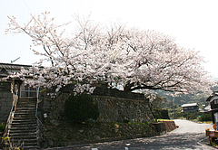 久賀流田「虚空蔵」の桜