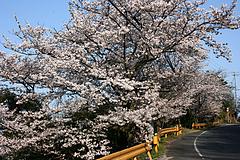 五条の千本桜2010