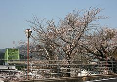大島大橋の桜